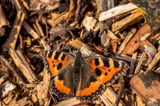 Little Fox - Butterfly / Summerbird