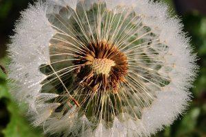 Dandelion Wild Flower