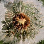 dandelion-1416726_640
